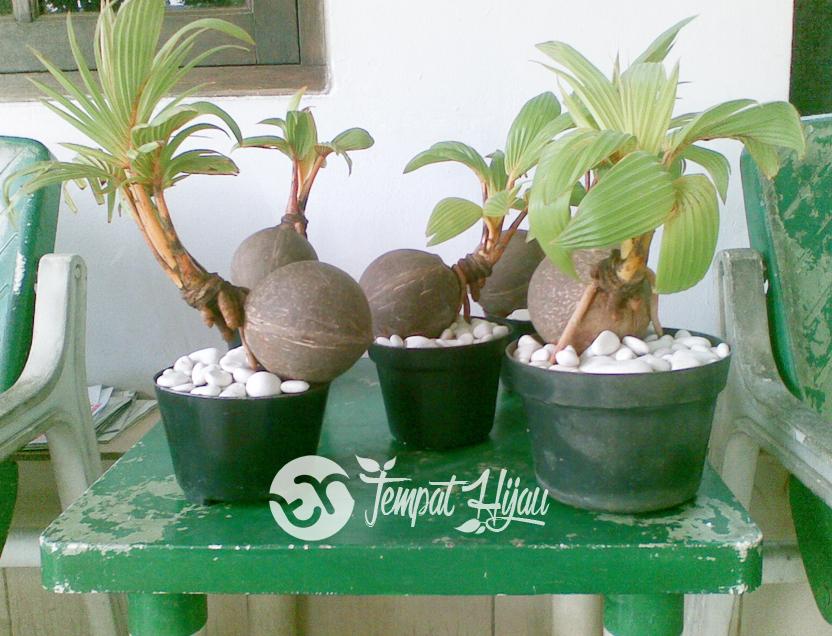 Teknik Membuat Bonsai Pohon Kelapa Tempat Hijau