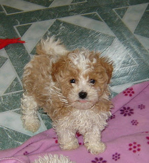 Maltipoo Puppy Pictures