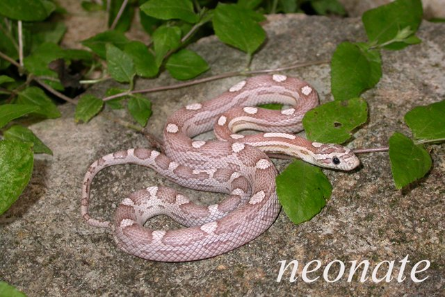 Lavender Corn Snake