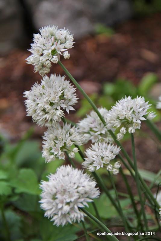 Allium amplectens 'Gracefull'