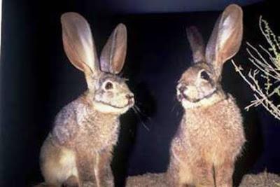 Bunolagus monticularis (Conejo ribereño de Sudáfrica)