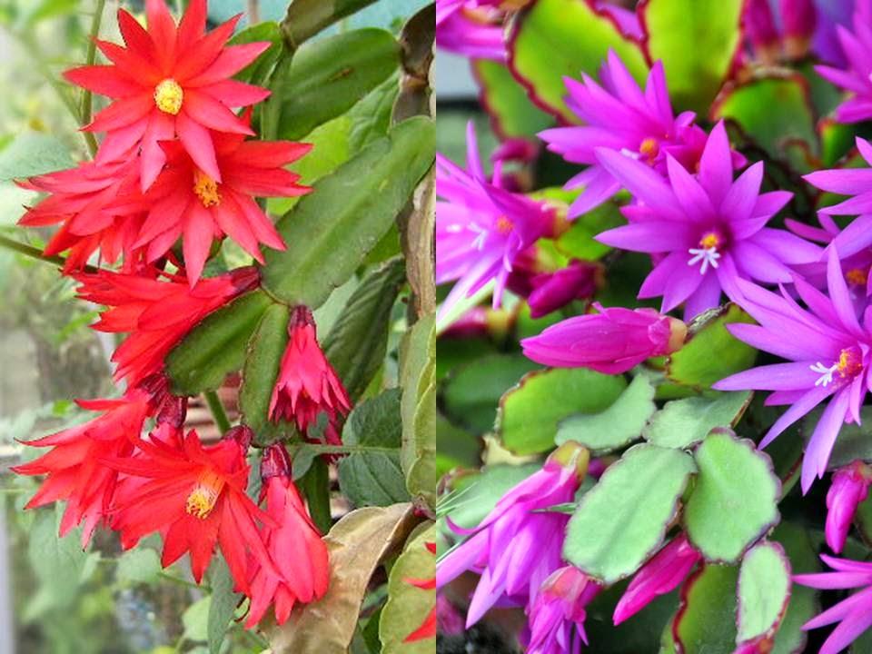 Plantas de interior - Hatiora gaertneri e rosea