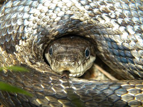 rat snakes phot...
