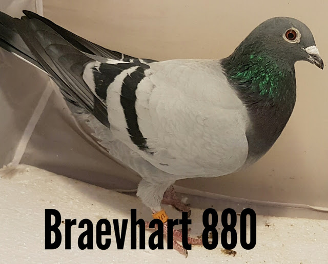 BRAEVHEART 880⅝