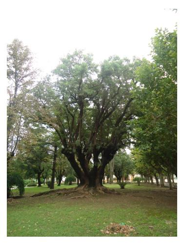 Arboles de los toldos rboles declarados monumentos for Jardin 901 vicente lopez