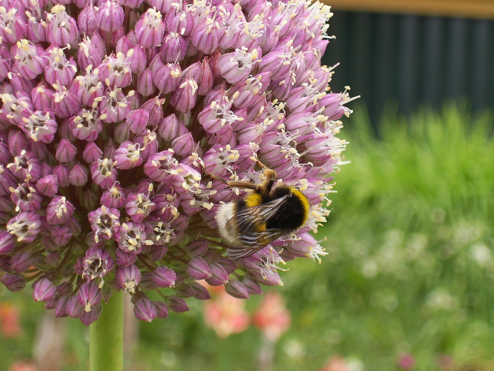 abelha macho