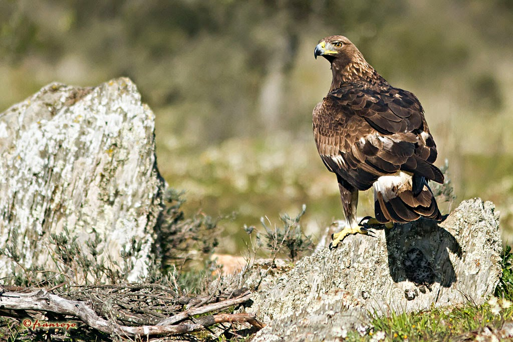 "HIDE ""GOLDEN EAGLE"", Águila Real (Aquila chrysaetos)"