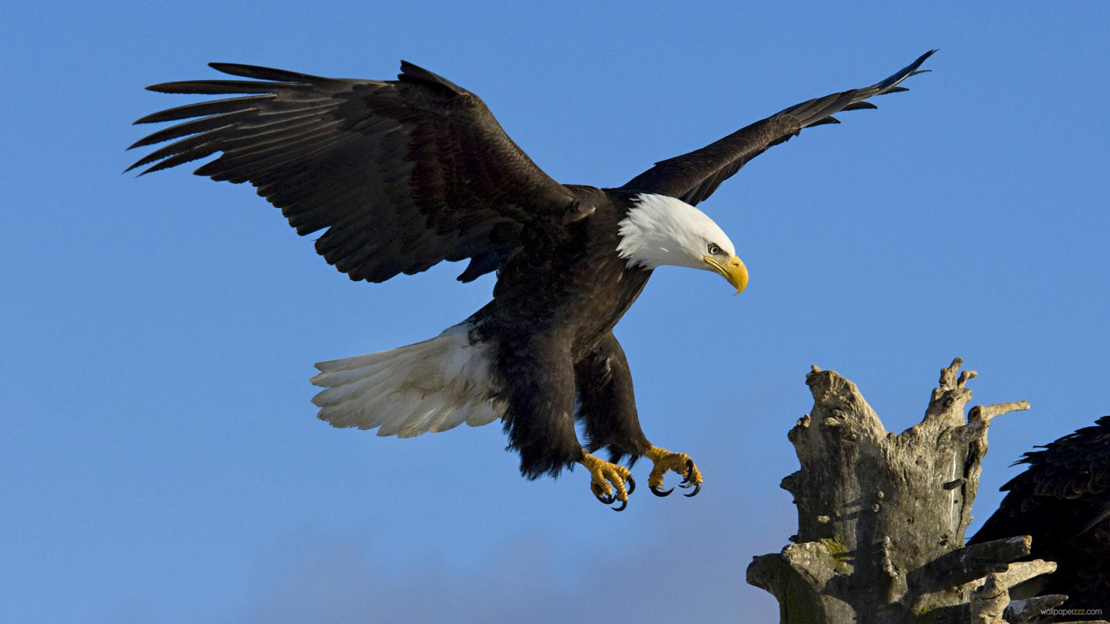 Wallpapers   Eagle Pictures   Eagle Fights   Eagle Hunt   White Eagle    White Eagle Wallpaper
