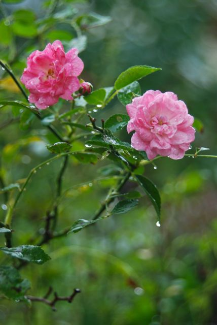 Rain on Rosa 'The Fairy'.