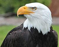 Denial Bald Eagle Jack Look Left