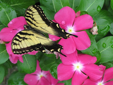 Yellow Tiger Swallowtail on Vincas