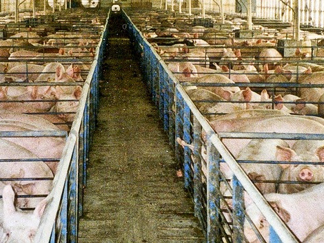 How Superbugs Hitch a Ride From Hog Farms Into Your Community