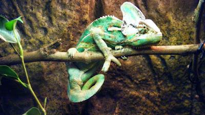 Répteis: camaleão