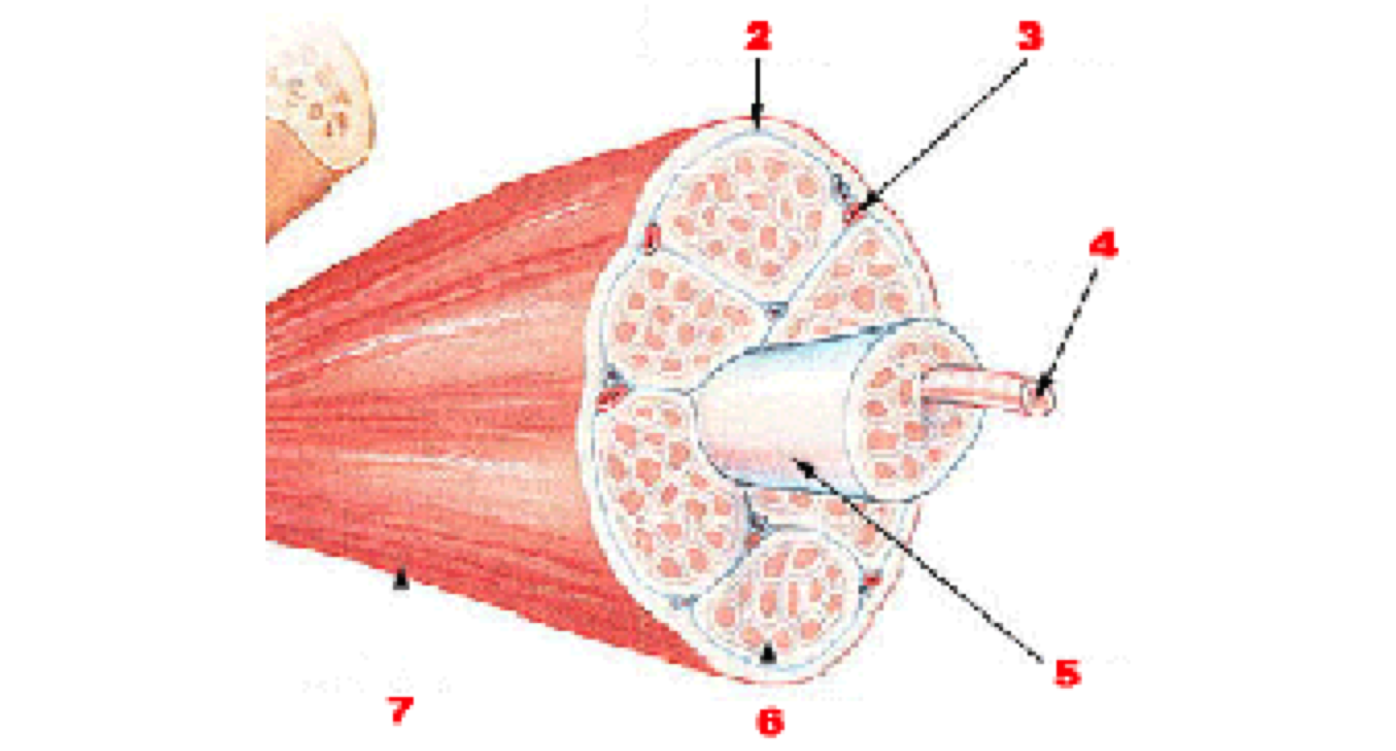 Muscle Cell Diagram Muscle Cell Diagram Labeled