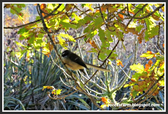 5 NZ Native Birds || joceesfarm.blogspot.co.nz