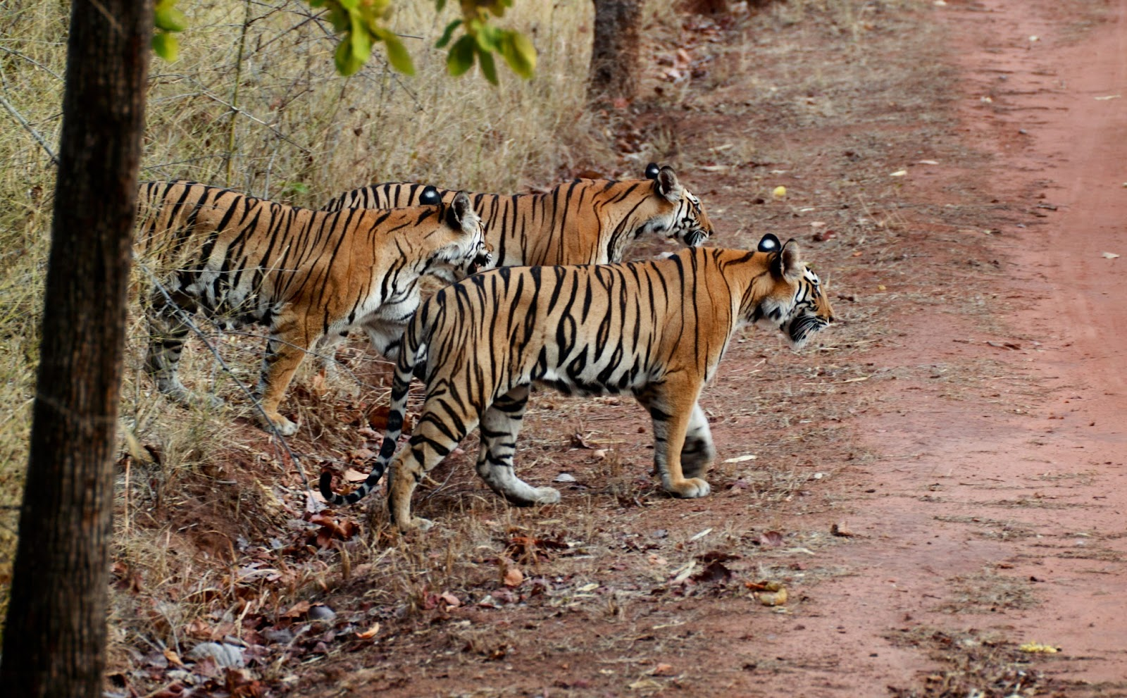 Maneaters The tiger and lion attacks on humans