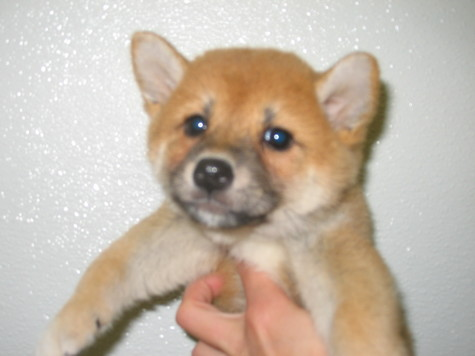 Shiba  Puppies on Lrwuglbhgqqg Shiba Inu Puppy Care Tips