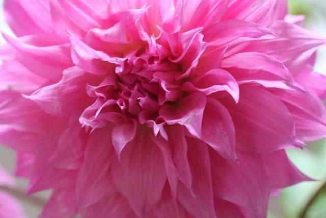 pink dahlia delight!
