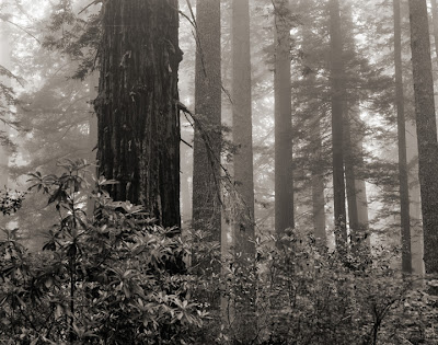 Large Format Photography - Redwood Forest No.8