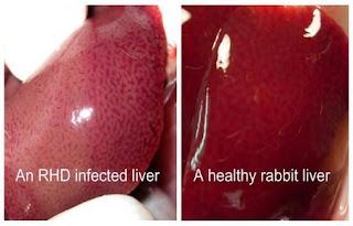 So sánh gan thỏ bình thường và gan thỏ bị RHD.