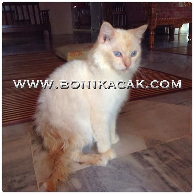 kucing mandi, bagi kucing mandi, mandikan kucing, memandikan kucing, syampu kucing, kucing, si comel