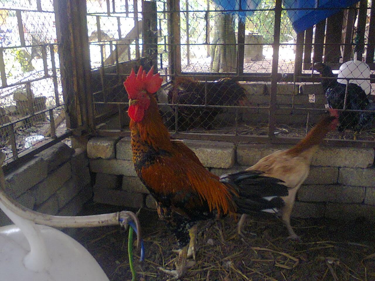 Pembaka 3: Ayam sabung Siam Eche ( balung sisir)
