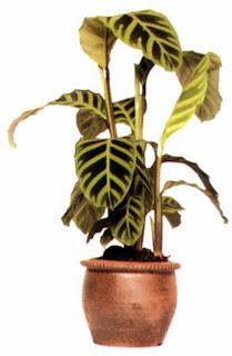 Гибриды Каланхоэ Блоссфельда (Kalanchoe blossfeldiana) хорошо растут на солнечном подоконнике.