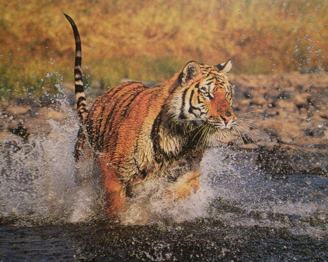 Running tiger wallpaper hd