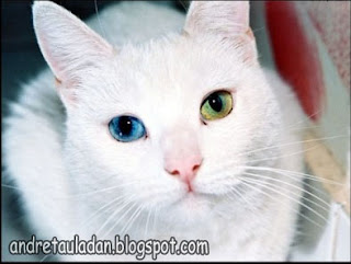 heterochromia animal