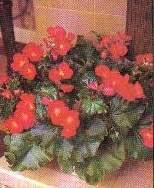 tanaman hias,begonia semperflorens,karakteristik,perawatan