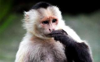 capuchino animal