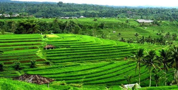 Jati Luwih Race Terrace