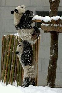 Panda ayudando a otro panda :)