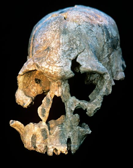 australopithecus fossil The species, australopithecus sediba, strode upright, but still climbed  fossil  hunters have profitably scoured these rolling grasslands north of.