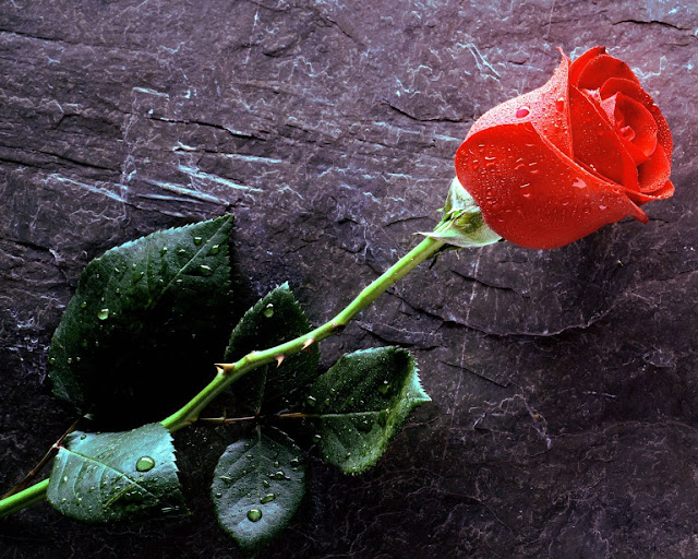gleaming red rose wallpaper