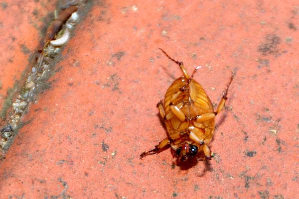 Christmas beetle Sydney backyard