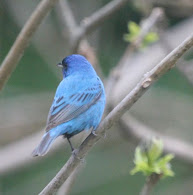 Indigo Bunting