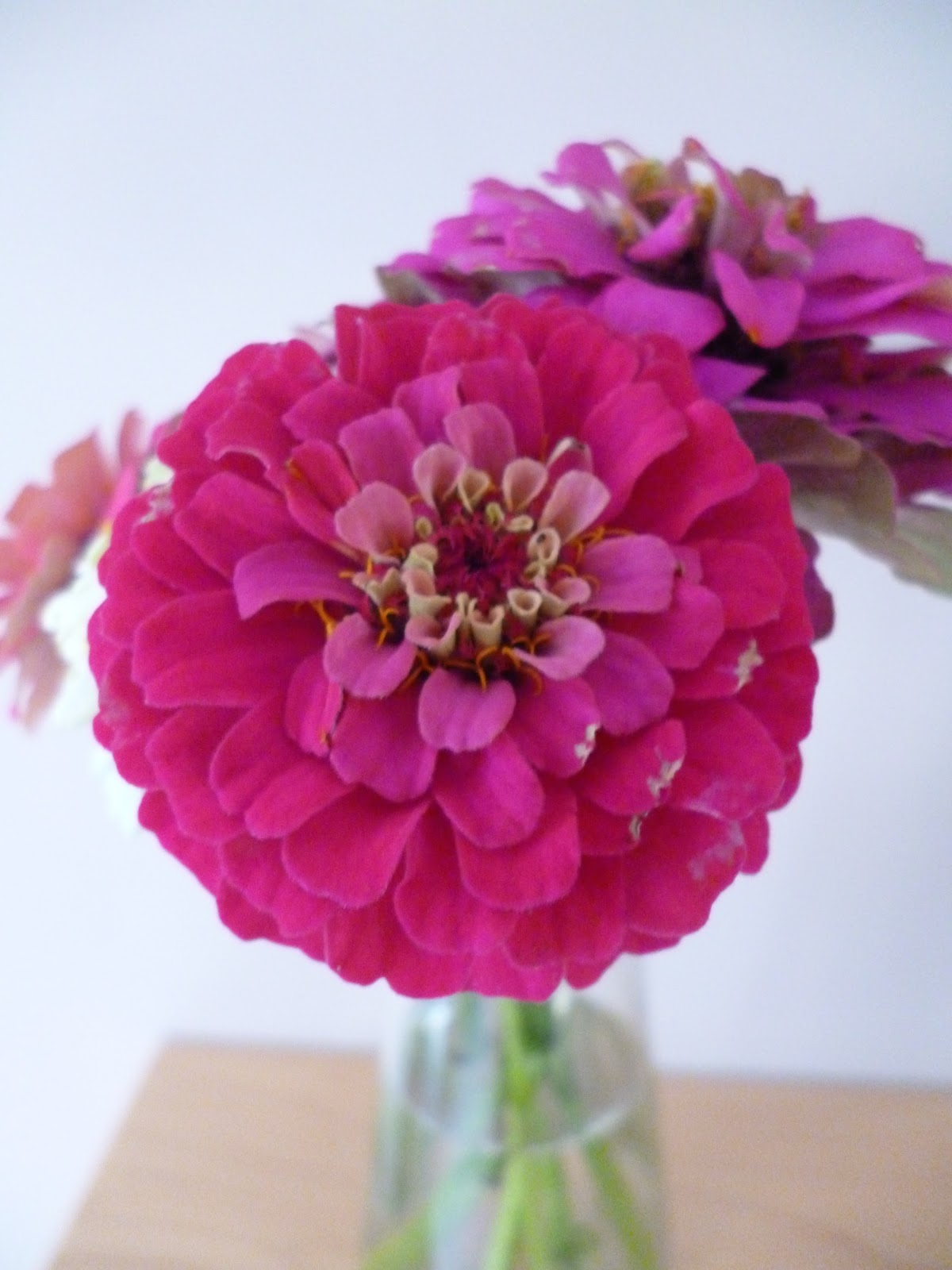 Zinnia Sprite cut flowers