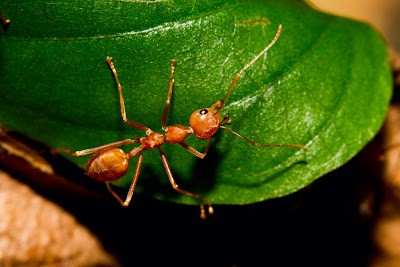 A Photograph of a Weaver ant taken in Colombo, Sri Lanka