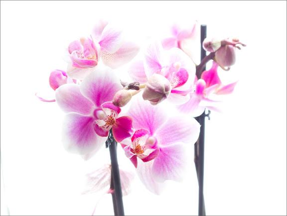 Rosa orkide 4