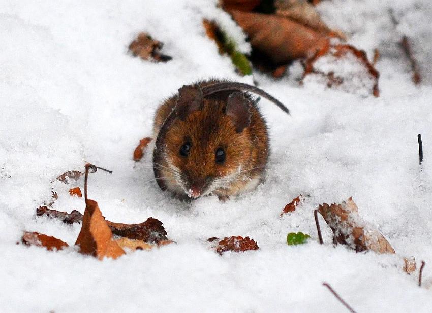 Mysz lesna, forrest mouse