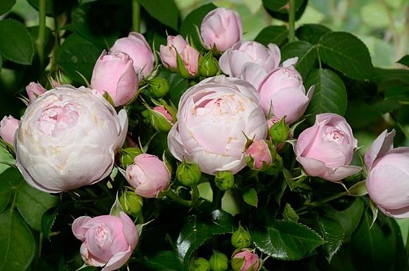 Hans Gonewein Rose сорт розы фото