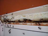 что делать если в квартире завелись муравьи