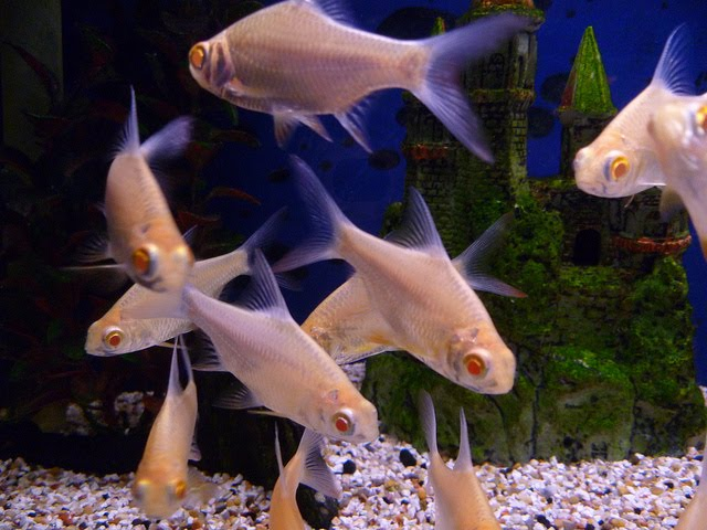 Tropical Aquarium Fish Tinfoil Barbs Albino Pictures