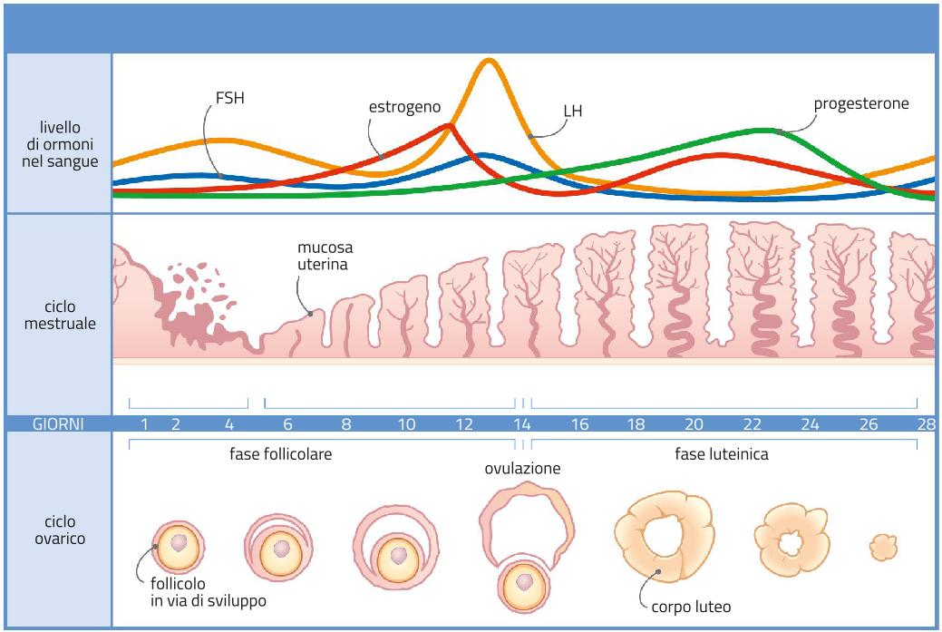 Risultati immagini per immagini ciclo ovarico