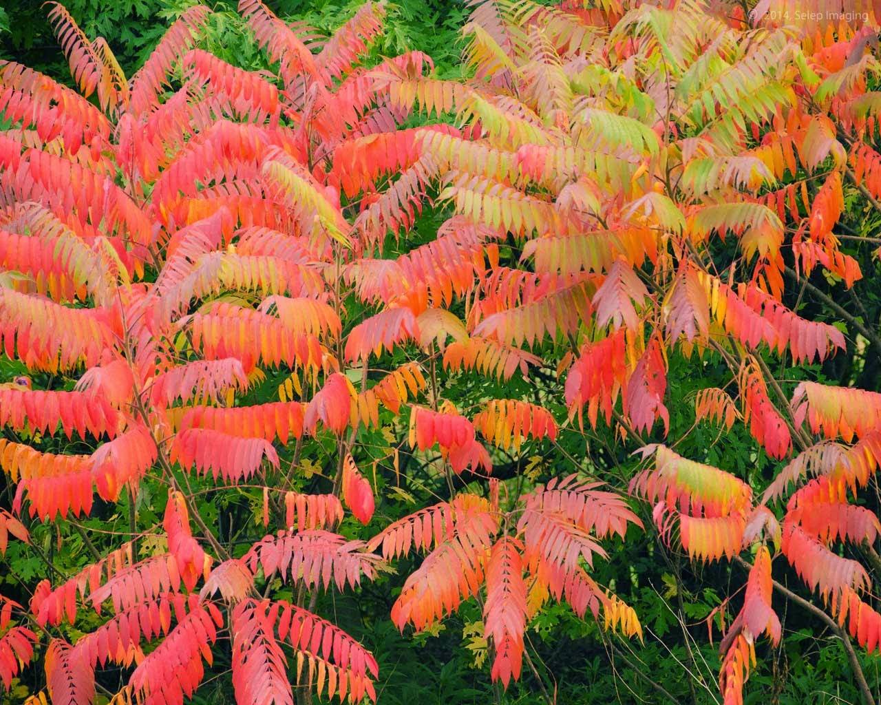 fall sumac shrubs by Jeanne Selep