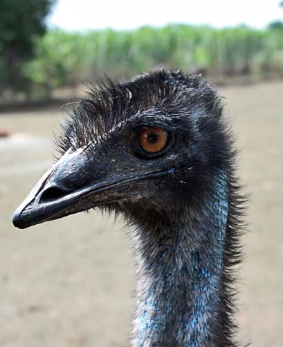 side-view of an Emu bird