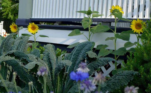 Sunseed Sunflowers