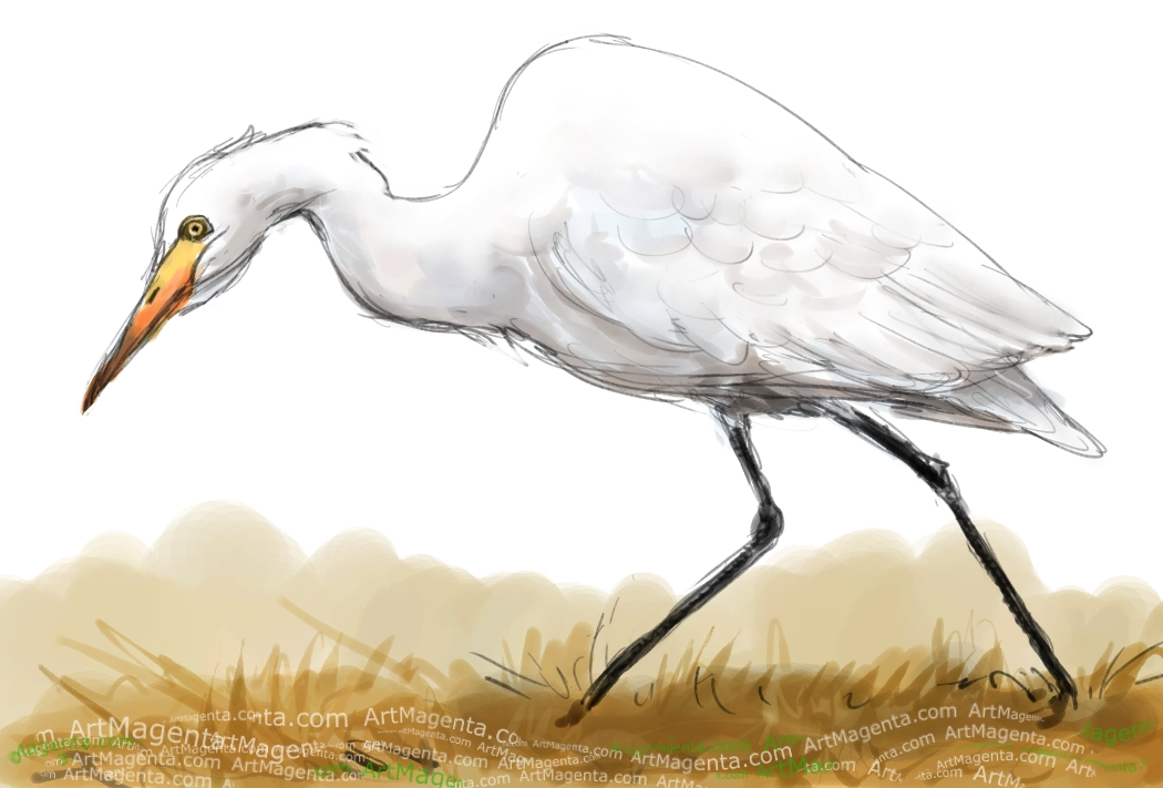 Cattle Egret sketch painting. Bird art drawing by illustrator Artmagenta