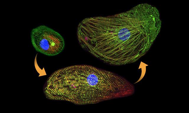 let-7 microRNA progressing cardiomyocyte development